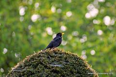 Pavarotti mit Drosselklappe (grafenhans) Tags: minolta sony af alpha 700 garten vogel farben frhling gegenlicht drossel a700 alpha700 grafenwald 455675300
