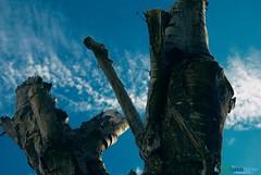 Troncos de un Arbol seco cortado, en en ciudad de Mao - Provincia Valverde - Repblica Dominicana (Carlos Durn Photography/CAD) Tags: republica azul cielo mao dominicana hd tronco seco rd republicadominicana cad nuves valverde carlosduran haltadefinicion