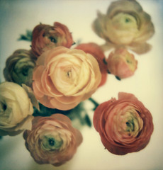 ranunculus (lawatt) Tags: flowers film ranunculus instant slr680 blooming gen3 theimpossibleproject color600