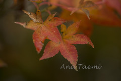 ATU_4302_Acer palmatum_LR (Ana Taemi) Tags: fall natureza japanesemaple acerpalmatum outono camposdojordo serradamantiqueira momidi bordojapons