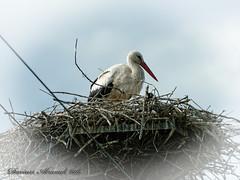 Polish landscapes - Krasienin near Lublin. (Dariusz A. - Poland) Tags: bird animal landscapes nikon nest zoom outdoor polish nikkor 70300mm stork vr afs ifed f4556g d7100