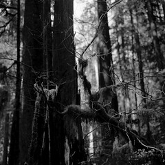Little and big (that analogue guy) Tags: trees washington bronica olympics rodinal olympicnationalpark ilford fp4 standdevelopment solducriver sqai bokehwhore zenzanon80mmf28ps