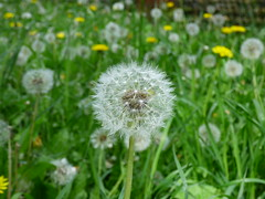 Dandelion (Darren-Holes) Tags: life plant flower garden spring weed dandelion