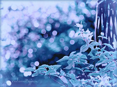 do you believe in magic...... (calamityjan2008) Tags: blue trees bokeh magic illusion bluegreen doyoubelieveinmagic treebokeh simplysuperb esenciadelanaturaleza attheendofthedeck