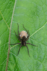 Wolf Spider Upton NWT (JohnMannPhoto) Tags: upton nwt insects wolf spider egg sac