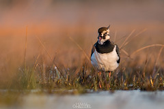 Screamer (lookashG) Tags: morning sun bird nature water pool grass birds animal animals fauna sunrise dawn wildlife meadow meadows natura aves lapwing grassland vanellusvanellus animalia woda sunup northernlapwing daybreak poranek rano soce 300mmf28 ptak ranek trawa ptaki peewit ki ka wschd zwierzta breakofday pewit wschdsoca wit rozlewisko czajkazwyczajna czajkapospolita lookashggmailcom ukaszgwidziel zaranie sonyilca77m2
