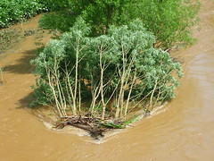 Umgerissene Weide (Jrg Paul Kaspari) Tags: river weide braun fluss hochwasser salix flut wittlich unwetter lieser braune treibsel fliesgewsser umgerissene