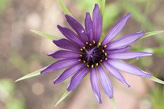 three flowers # 3 - salsify (chirgy) Tags: london spring nikond50 walthamstow 930 2016