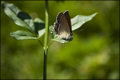 on glisters of dawn (parth joshi) Tags: travel nature fauna butterfly outdoors photography wildlife himalayas uttarakhand kumaun