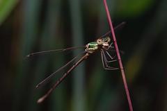 DSCF7091 (faki_) Tags: insect fuji dragonfly fujifilm 24 60 rovar xe1 szitakt fujinonxf60mmf24rmacro