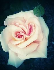 *** (domenicaviehberger) Tags: rose stillleben natur frhling zwilling bltenpracht