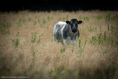 Nature 29-06-'16 (Diverse-Media.nl) Tags: netherlands field animal animals cow media diverse sony nederland meadow tamron koe medow a58 dmani tamronlens sonyalpha sonylens sonya58 diversemedia diversemedianl