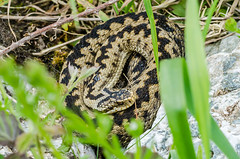Adder (female) - Viper berus (Matchman Devon) Tags: adder viper berus ayrmer cove path south hams devon ringmore