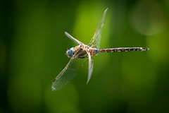 dragonfly5 (1 of 1) (DavidGuscottPhotography) Tags: red