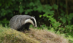 Badger (Meles meles)with a cloud of biting midges. (Sandra Standbridge.) Tags: grass animal night evening scotland outdoor biting badger midges melesmeles wildandfree