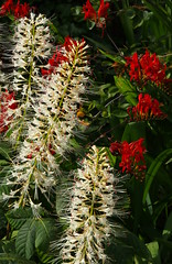 Bottlebrush Buckeye and Crocosmia (Badly Drawn Dad) Tags: gbr greaterlondon mybackgarden sydenham unitedkingdom bottlebrushbuckeye crocosmia dwarfhorsechestnut red stamens white
