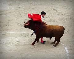 manoletina de Juan Del Alamo (aficion2012) Tags: arles francia france paques 2016 corrida bull fight bulls toro toreau torero toreador matador juan del alamo manoletina adorno muleta pedrazasdeyeltes pedrazas