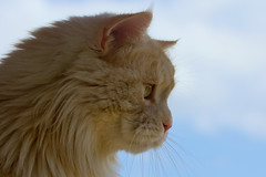 The Linus in profile (FocusPocus Photography) Tags: pet animal cat chat profile linus gato katze haustier kater tier profil
