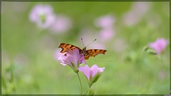 Beautiful visitor in my garden. (gewoon-marieke) Tags: flowers nature butterfly garden 50mm spring nikon bokeh outdoor maar