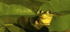 You looking at me?.... (Kevin Povenz) Tags: 2016 june kevinpovenz westmichigan michigan ottawa ottawacounty frog pond water green yellow canon7dmarkii sigma150500 nature outdoor outdoors