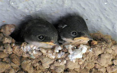 little swallows (2) (kexi) Tags: two 2 pair couple birds swallows little tiny nest turkey samsung wb690 may 2015 instantfave wallpaper