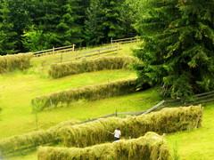 bucolic Maramuresh (oriana.italy) Tags: pastoralscene haymaking peasant maramuresh summer rumnien latinmaramuresensis kreismarmarosch hesje fenaison heumahd