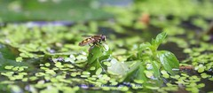 Keeping Cool.......... (law_keven) Tags: england london water gardens garden insect pond insects bugs ponds hoverfly catford