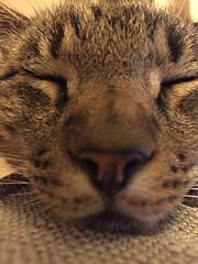 (rachelrowley88) Tags: cute closeup cat giant tabby sleepy purr archie