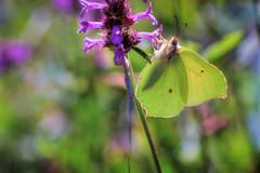 "lady butterfly ""Cedronella"" (XXAquarius) Tags: vereira weekend liguria natura nature walk trekking relax montagna beigua insetto isect farfalla butterfly papillon scacchiera cedronella macro"