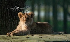 Lion Cub/Woburn Safari Park (www.natashaballettaphotograhy.com) Tags: cute wildlife lion conservation bigcat lioncub safaripark woburnsafaripark woburn animalphotography wildlifephotography