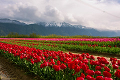 Tulips of the Valley Festival 2015 (SonjaPetersonPh♡tography) Tags: flowers canada tulips britishcolumbia tulipfestival fraservalley 2015 tulipfields agassiz agassiztulipfestival tulipsofthevalley tulipsofthevalleyfestival nikond5200 nikonafs18140mmf3556edvr tulipsofthevalleyfestival2015