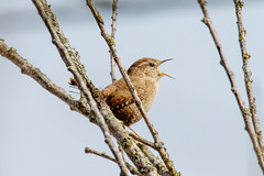 Winterkoning-8671 (Djien) Tags: vogels oostvaarderplassen