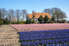 Wouwse Plantage (Pieter Mooij) Tags: flowers hyacinten bloemen hyacinths wouwseplantage