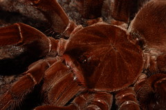 "Theraphosa stirmi closeup • <a style=""font-size:0.8em;"" href=""http://www.flickr.com/photos/77637771@N06/17228923888/"" target=""_blank"">View on Flickr</a>"