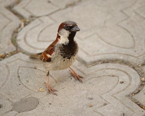 Sparrow, Just Sparrow