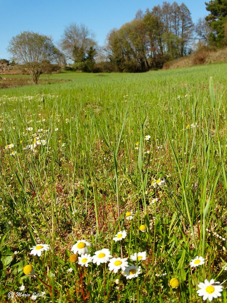 Águas Frias (Chaves) - ... as flores da primavera nos prados ...