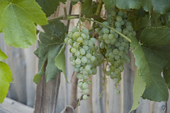 Green Grapes 05