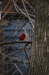 Dressed in His Best (flashfix) Tags: red portrait ontario canada bird nature animal outdoors spring nikon cardinal branches ottawa blues bark mothernature malecardinal 2015 passerine cardinalidae d7000 nikond7000 55mm300mm 2015inphotos april272015