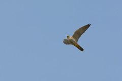 DSC_5572 boomvalk (Falco subbuteo)