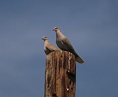 IMG_5369 (Javier M. Gonzalez) Tags: wings pair eurasiondove
