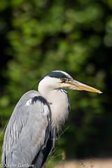 HRON (Orekaman) Tags: bird heron birds greatblueheron herons hron greyherons