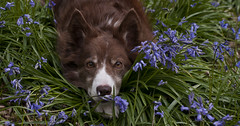 Springtime in England (A child in the night) Tags: red portrait bluebells woodland spring woods sheepdog kira bordercollie bluebell endymion