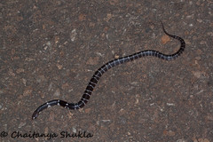 IMG_0229 (Chaitanya Shukla) Tags: india macro maharashtra panshet in commonkrait snakesofindia bungaruscaeruleus panshet201605 dawje