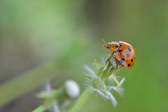 Callicaria superba (myu-myu) Tags: nature field japan insect big nikon ladybug d800   callicariasuperba