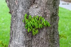 Leipzig, Gohlis, frische Kastanienbltter (joergpeterjunk) Tags: outdoor natur pflanze wiese leipzig baum gohlis canoneos50d canonef100mmf28lmacroisusm frischekastanienbltter