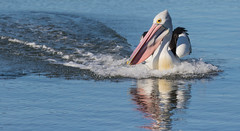 In the wake (christinaportphotography) Tags: pink wild reflection bird birds bill focus wake dof free australia pelican nsw centralcoast courting australianpelican pelecanusconspicillatus