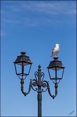 Point de vue du rverbre .. (GK Sens-Yonne) Tags: lanterne normandie oiseau etretat clairage goland seinemaritime rverbre candlabre