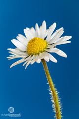 Daisy on Blue (Rich Jankowski) Tags: blue white flower green yellow closeup canon petals stem daisy asteraceae bluebackground ef100mmf28usm canon5dmkii 5d2