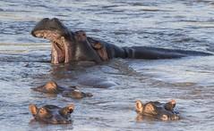 yawn (charlesgyoung) Tags: africa tanzania nikon safari hippo serengetinationalpark charlesyoung d810 nikonfx nomadtanzania karineaignerphotographyexpedition