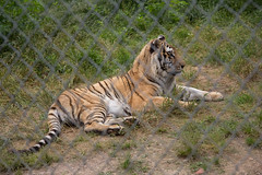 IMG_8206 (whereisjulie?) Tags: rescue tiger lion carolina cougar ocelot serval caracal kinkajou